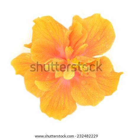 Orange hibiscus flower isolated on white background - stock photo