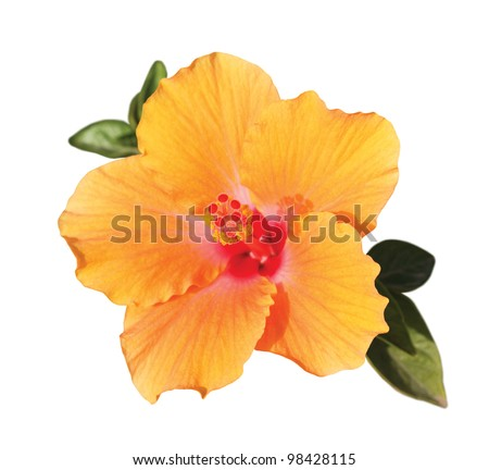 orange hibiscus flower with green leaves under sunlight isolated on white background - stock photo