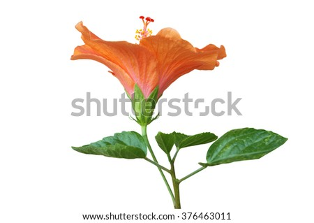 Orange Hibiscus on white background with path - stock photo
