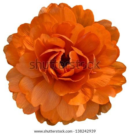Orange isolaed flower - stock photo