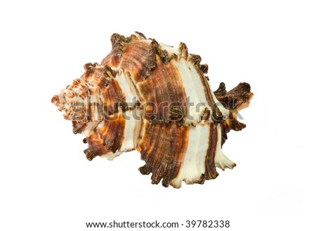 Orange isolated oceanic shell from tropical beach