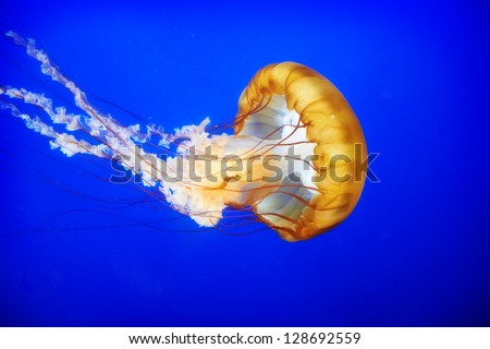 Orange jellyfish (Chrysaora fuscescens or Pacific sea nettle) in blue ocean water - stock photo