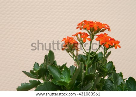 Orange Kalanchoe blooming in a pot - stock photo