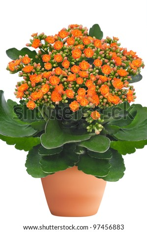 orange kalanchoe flower plant isolated on white background - stock photo