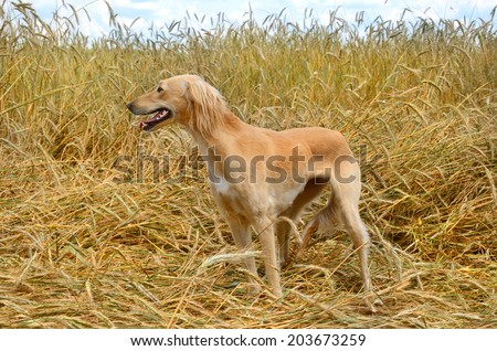 Orange Kazakh greyhound Tazi standing on a wheat field  - stock photo