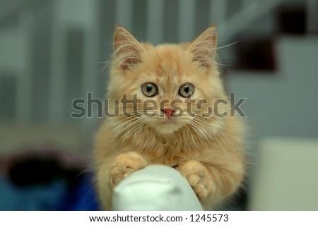 Orange Kitten - in house - stock photo