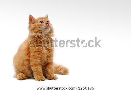 Orange Kitten on white background - with some space for text