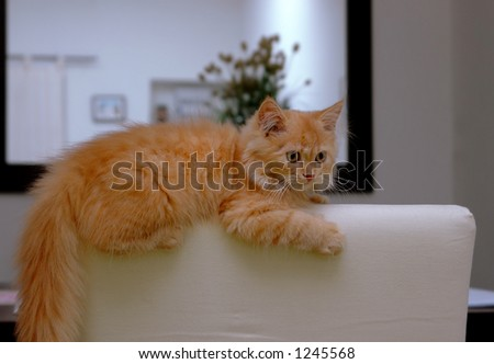 Orange Kitten sitting on chair - stock photo