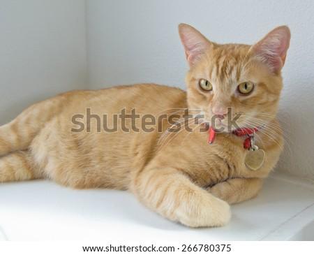 Orange kitty cat laying on white wall - stock photo