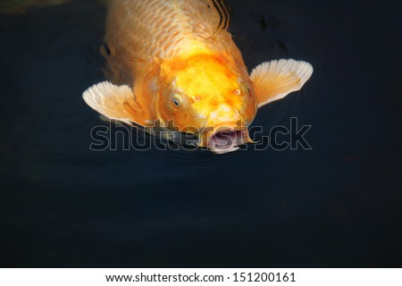 Orange koi carp with open mouth at a pond/The Talking Fish