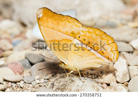 Orange Large yeoman butterfly is sucking food - stock photo