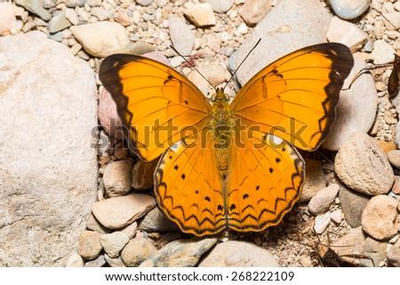 Orange Large yeoman butterfly on floor - stock photo