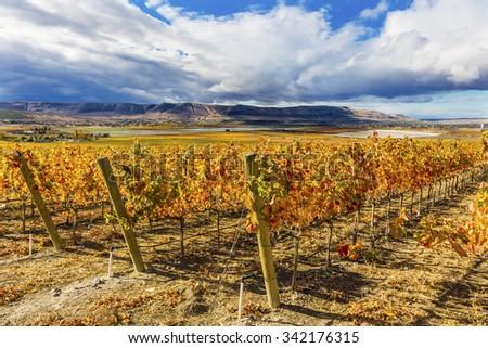 Orange Leaves Vines Rows Grapes Wine Colorful Fields Autumn Red Mountain Benton City Washington - stock photo