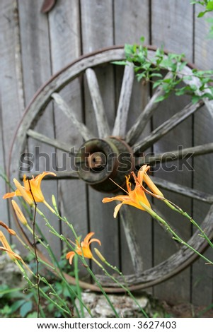 Orange lilies in front of an old wagon wheel leaning against an old barn wall. Focus is on the flowers with the wheel slightly out of focus in the background.