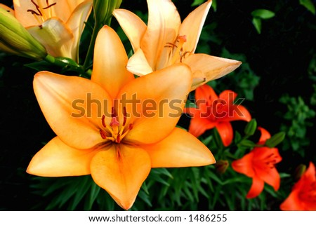 Orange Lilly and Day Lilly - stock photo