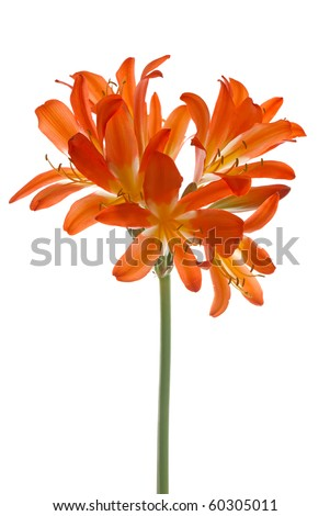 Orange lilly flower on isolated on white background. - stock photo