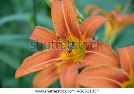 Orange lily and the bee