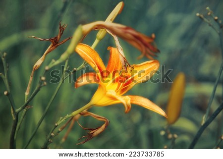 Orange lily flower with green leaves closeup - stock photo