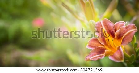 Orange Lily on the background green summer Garden, banner - stock photo