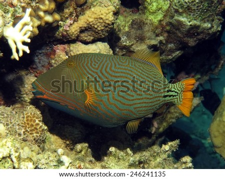 Orange-lined triggerfish (Balistidae) inside a coral crevice - stock photo