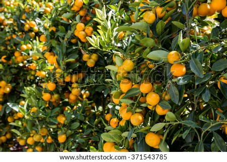 Orange mandarins growing on tree brunches in garden - stock photo