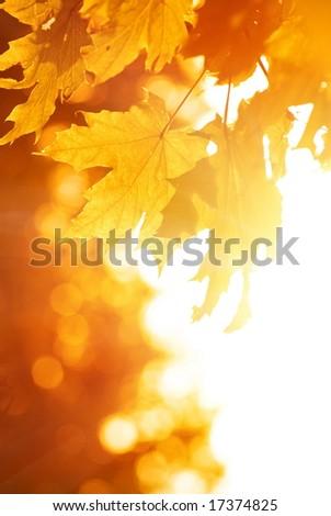 Orange maple leaves. Autumn concept. - stock photo
