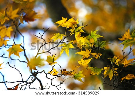 Orange maple leaves changing color - stock photo