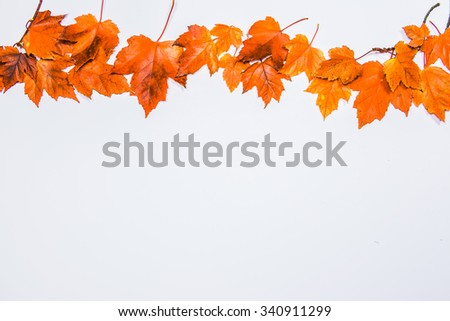 orange maple on white area,colorful maple leave on the ground,lawn for background in the park,autumn season