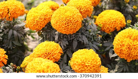 Orange marigolds in garden - stock photo