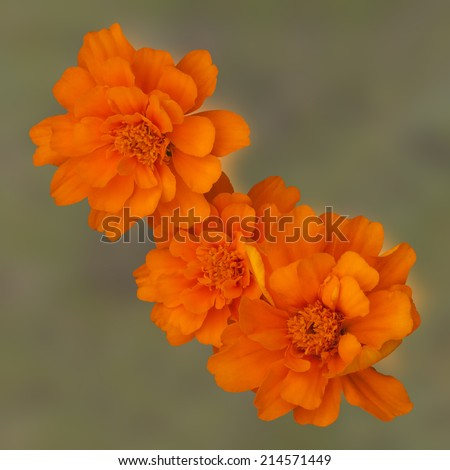 orange Marigolds on a green background - stock photo