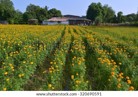 Orange marigolds on the flowerbed. Gardens and flowers - stock photo