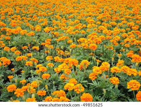 "Orange Marigolds ""Tagetes"""