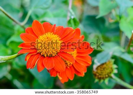 "Orange ""Mexican Sunflower""   Its scientific name is ""Tithonia Ro - stock photo"
