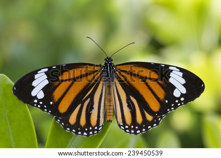 Orange Monarch Butterfly with Green Leaves Background - stock photo