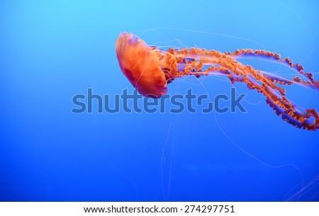 orange nettle jellyfish with blue background - stock photo