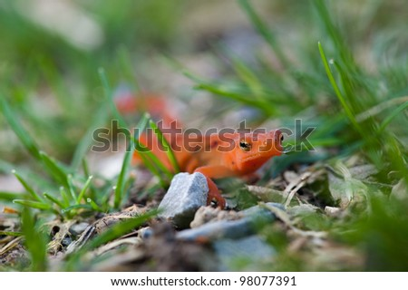 Orange Newt in the Grass - stock photo