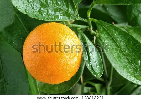 Orange on a citrus tree close up.