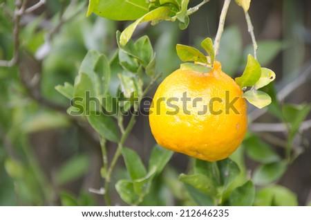 Orange on tree, ripe fruits - stock photo