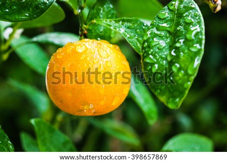 Orange on tree with water drops - stock photo