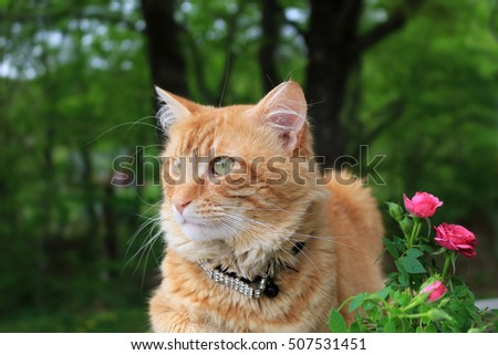 Orange or ginger colored cat sitting peacefully outdoors in the garden beside some pink small roses