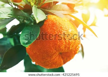 Orange or tangerine on tree - stock photo