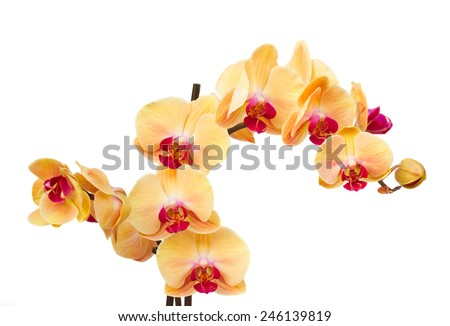 orange   orchid flowers branch  isolated on white background - stock photo