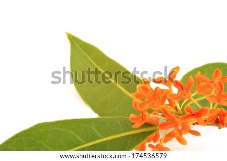 Orange osmanthus - stock photo