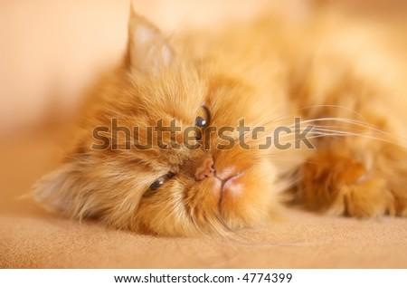 Orange persian cat portrait (soft focus) - stock photo