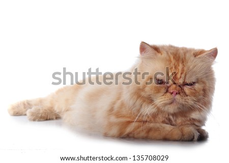 orange persian cat species, isolated on white background - stock photo