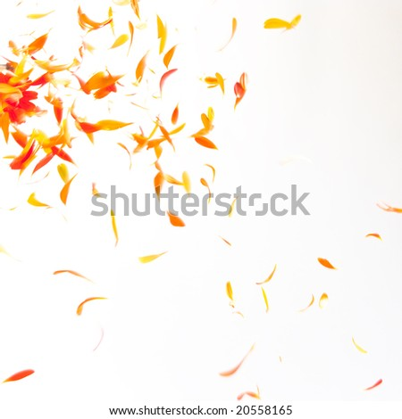 Orange petals flying down on red - stock photo
