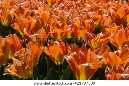 Orange petals of blooming tulips fill the frame. - stock photo