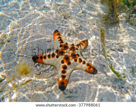 Orange pillow starfish on white sand of tropical sea in Sanur, Bali island, Indonesia. Underwater photo of coral reef inhabitant, colorful ocean animal. Five rays star on seashore between water plants - stock photo