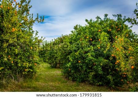 Orange plantations - stock photo