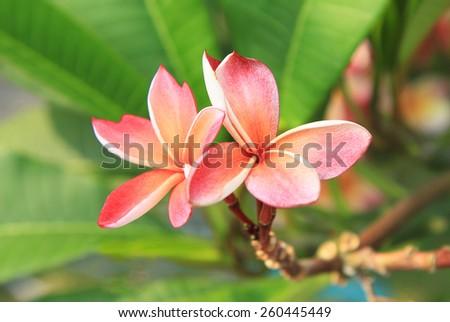 Orange plumeria flowers - stock photo